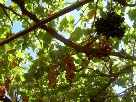 Grapes by rawenna