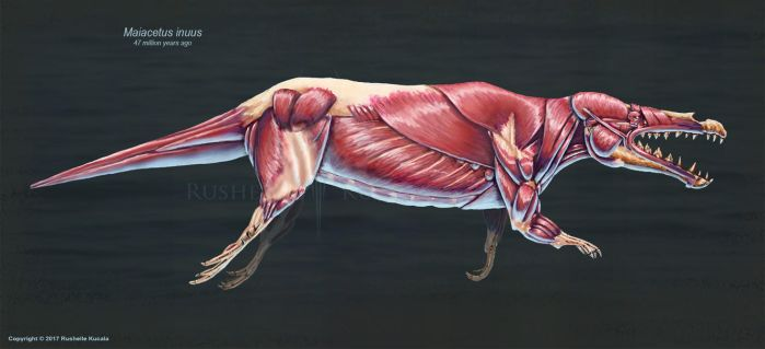 Maiacetus inuus Muscle Study by TheDragonofDoom