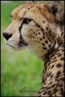 The Hunting Leopard by Chikrata