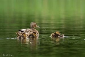 Duck family by ErikEK