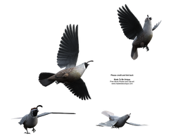 California Quail Flying Above by madetobeunique