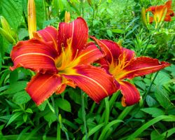 A Pair of Lilies Blooming in the Spring by CRG-Free