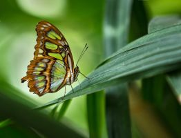 Butterfly Stock 27 by NellyGraceNG