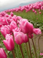 Tulips 23 by whisper-n-the-wind