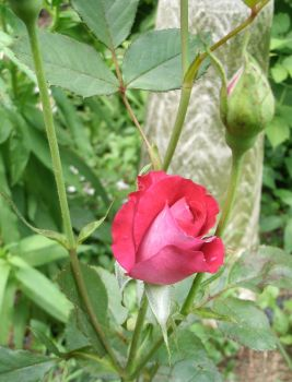 Pink Rose in the Garden by SacredJourneyDesigns
