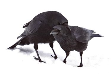 Two Crows 2 by SnowPoring