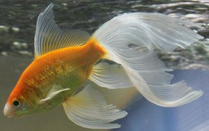 gold fish or mermaid tail by scratzilla