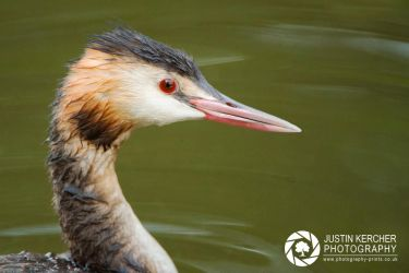 Great Crested Grebe Portrait by Neutron2K