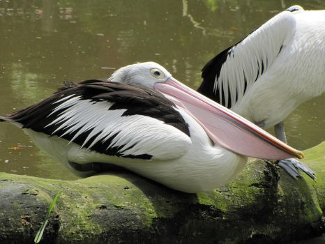 Pelican Rest Time by Shrewdy