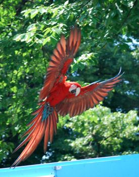 greenwing macaw 1.1 by meihua-stock