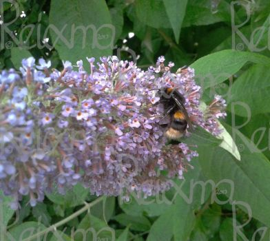 Bombus lucorum on Buddleia Davidii by Reixma