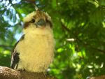 Kookaburra Zero + 3 by Mop-of-the-Bucket