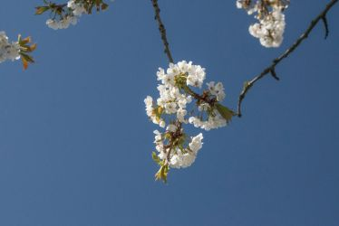 Pale Cherry Blossom Just Outside My Front Door by ianwh