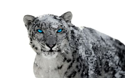 Snow Leopard 3 by BumbleBritches57
