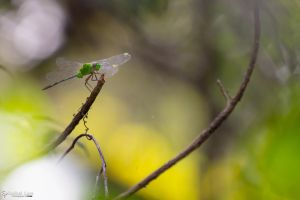 Green dragonfly 1 by CyclicalCore