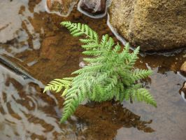 River fern by Daggles67