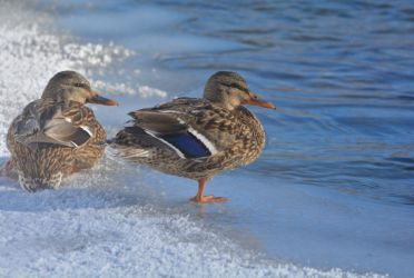 A Cold Duck Life by ceruleankangaroo