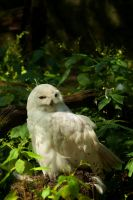 Snow owl in summer green by steppeland