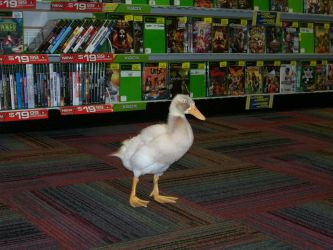 A duck in GameStop by trueloveiseternal