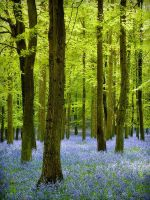 Bluebells in Dockey Woods by Mohain