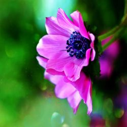 .:anemone:. by matricaria72