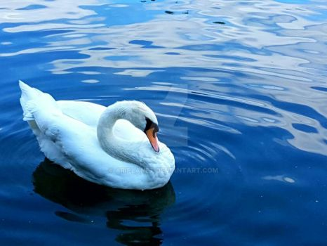 The Peaceful Swan by AriPlanet