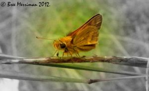 Skipper Butterfly by BreeSpawn