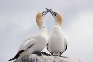 It started with a Kiss! - northern Gannets by Jamie-MacArthur