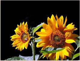 Late Sunflowers by JocelyneR
