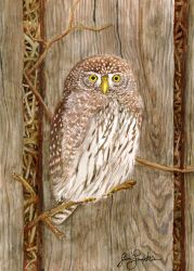 Northern Pygmy Owl by Tstar7