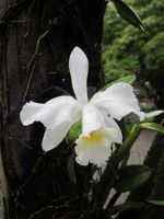 White Orchid by mariapalitos68