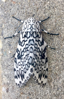 Giant Leopard Moth 001 by Elluka-brendmer