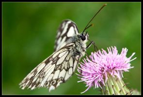 Marbled White Supper Time by Wivelrod