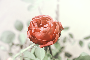 Rose by Esraa-hussein