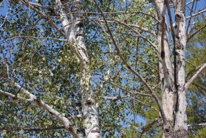 Birch Tree 001 by Mad-Willy