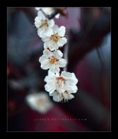 Hope - The Sakura White Raindrops by jyoujo