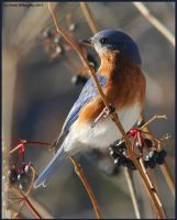 Winter Bluebird by EWilloughby