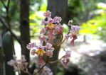 Pink orchids by Guadisaves02