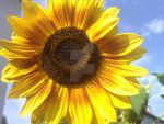 Outdoor Trip 2 - beautiful sunflower by ArRoW-4-U