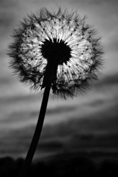 Dandelion black and white photography by rejmann