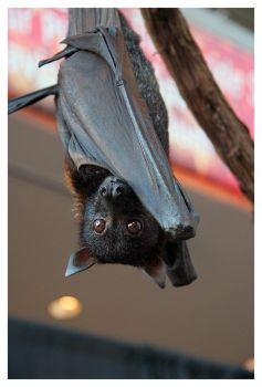 Malayan Flying Fox 2 by littleredelf