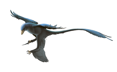 Microraptor gui for Wikipedia by FredtheDinosaurman