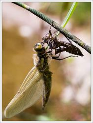 newborn dragonfly by neoloonatic