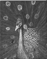Peacock Scratchboard by bluetidus13