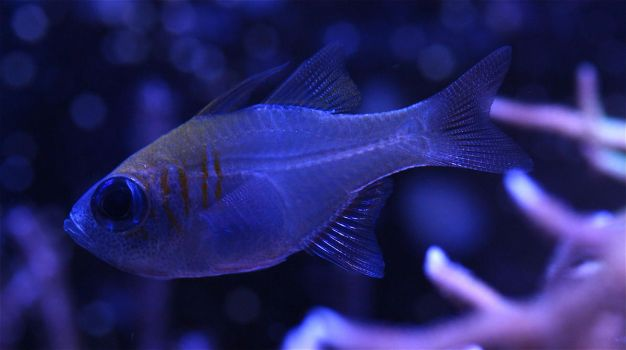 Threadfin Cardinal by ReticentRapture