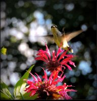 The Hummer And The Flowers by JocelyneR