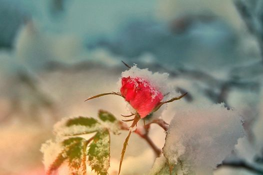 Winter rose by noll4tva