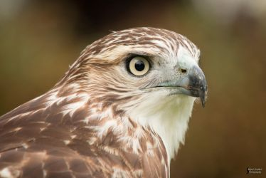 Red Tailed Hawk 3 by EdgedFeather