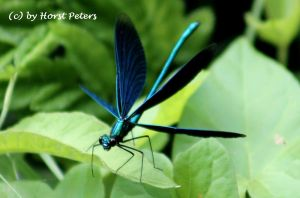 Blaue Prachtlibelle (Caleopteryx virgo) 2 by bluesgrass