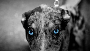 dog with blue eyes by frostyvamp